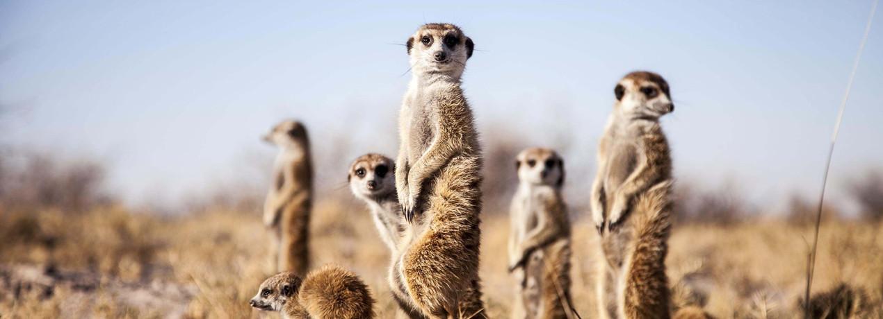 The meerkat experience, Kalahari, Botswana