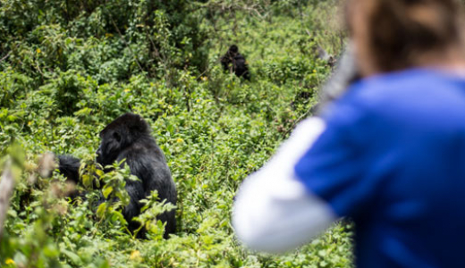 Gorilla tracking from Virunga Lodge