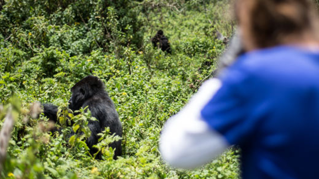 Gorilla tracking from Virunga Lodge
