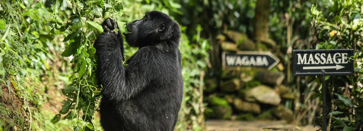 Gorilla in Bwindi, Uganda