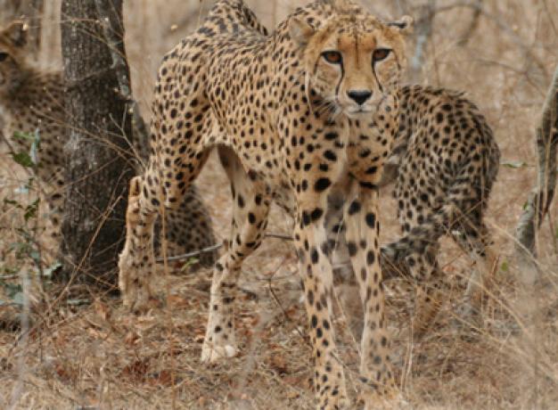 Cheetah on Safari from Makutsi Safari Springs