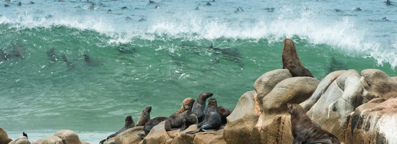 Cape Fur Seals at Moewe Bay - Skeleton Coast, Namibia