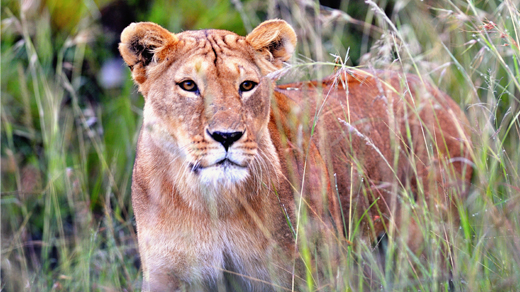 Lioness on Safari