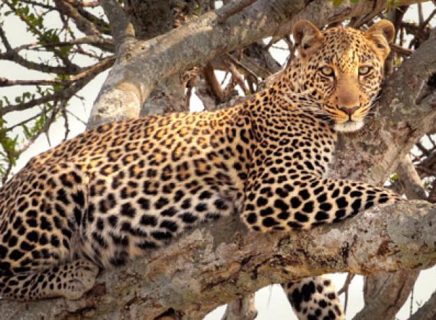 leopard samburu kenya