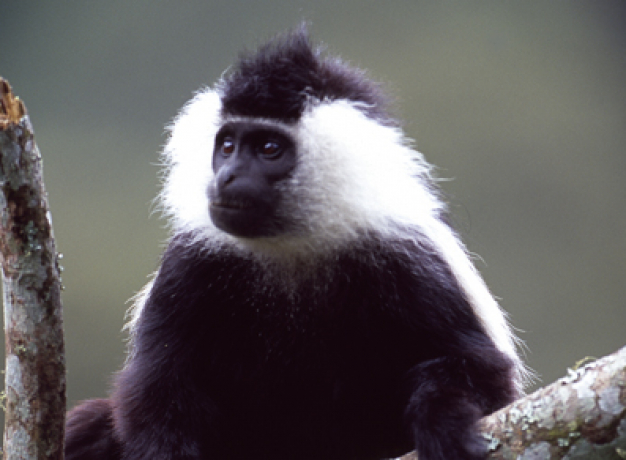 Nyungwe Forest National Park - Colobus Monkey Trek