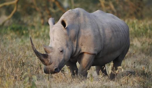 Ol Pejeta White Rhino