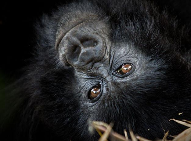 Lance Richardson Gorillas Rwanda