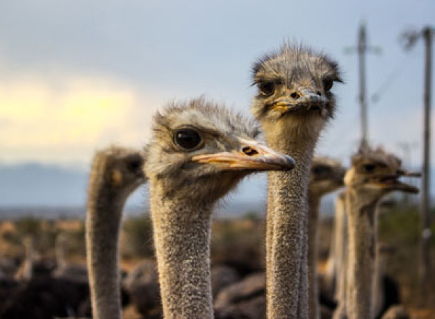 Oudtshoorn Ostriches South Africa
