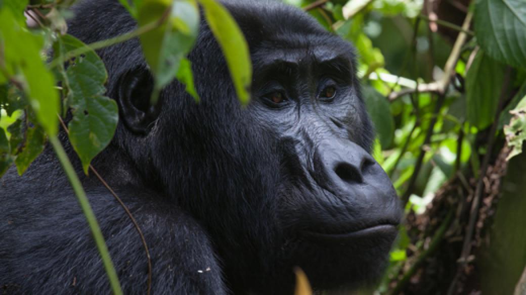 Gorilla Tracking Bwindi Uganda