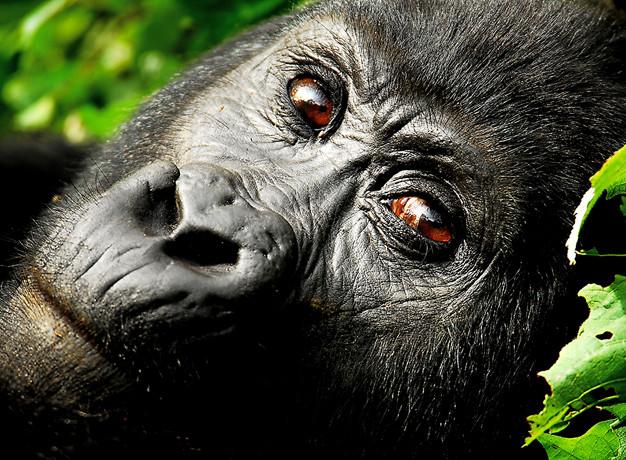 Gorilla Trekking Uganda Price