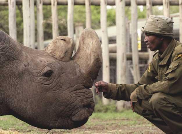 Northern White Rhino Fate