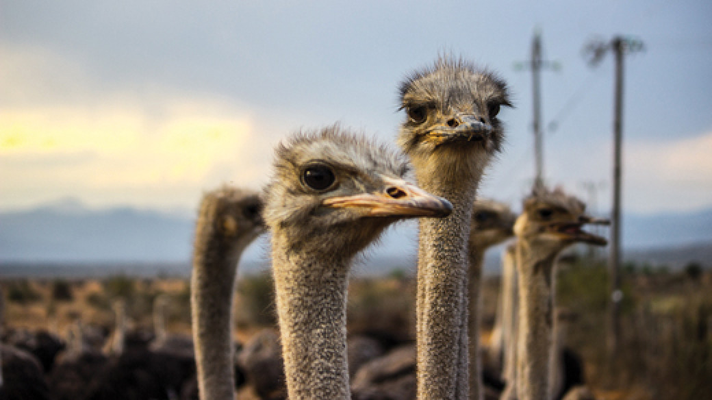 Visit the ostriches in Oudtshoorn in South Africa on this garden route tour