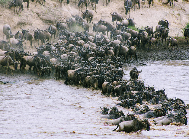 The annual migration in Kenya for post-covid travel from Australia