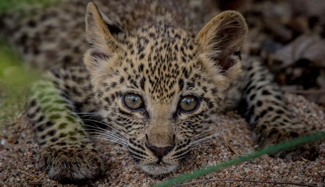 Baby leopard on safari in Africa