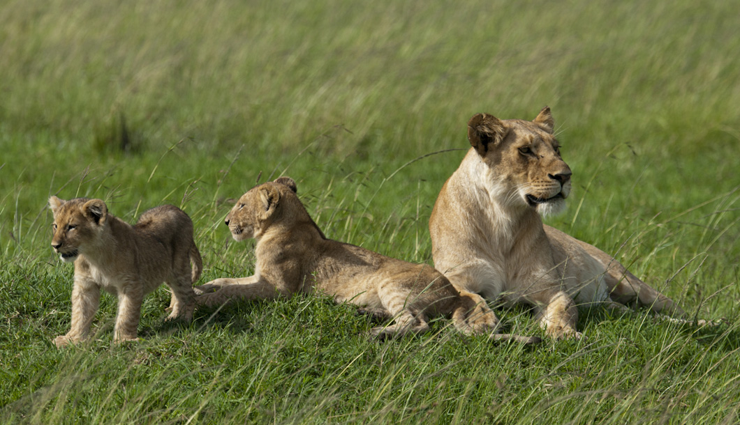 The Masai Mara offers some of the most spectacular wildlife viewing in the world