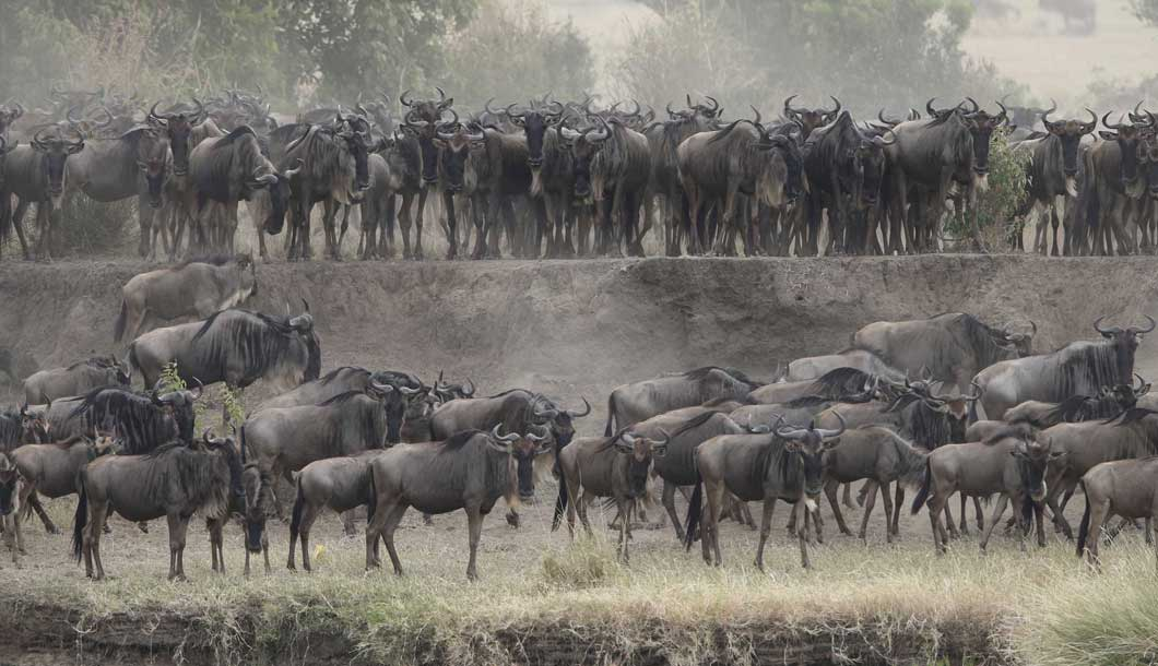 The Wildebeest Migration in the Masai Mara , Kenya