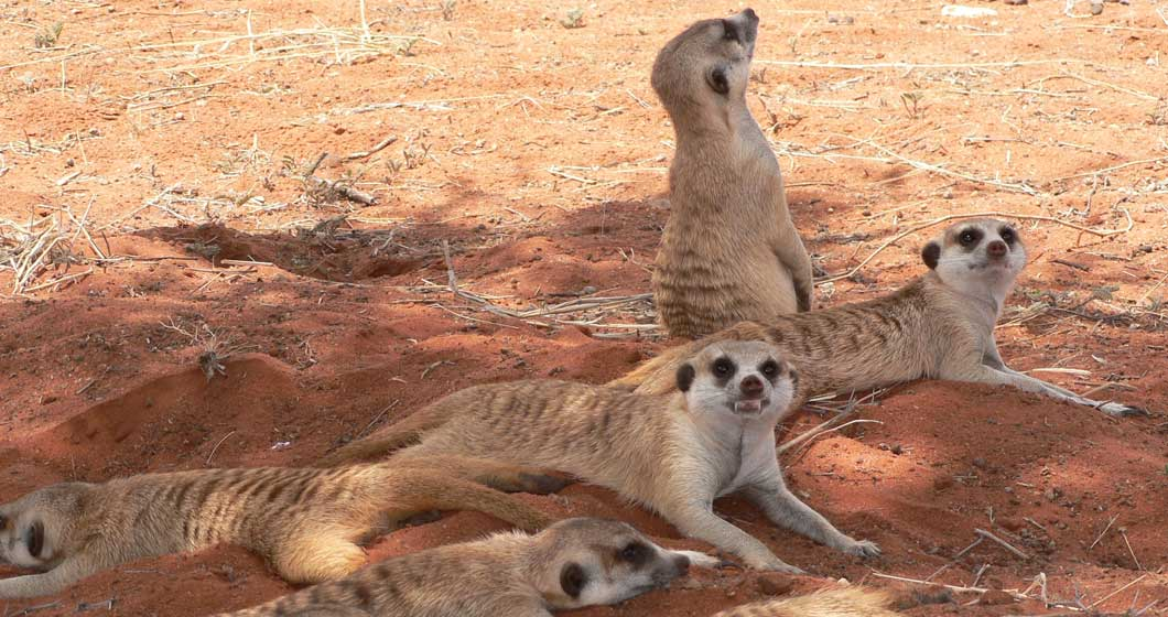 The meerkat is one of the 'shy five'