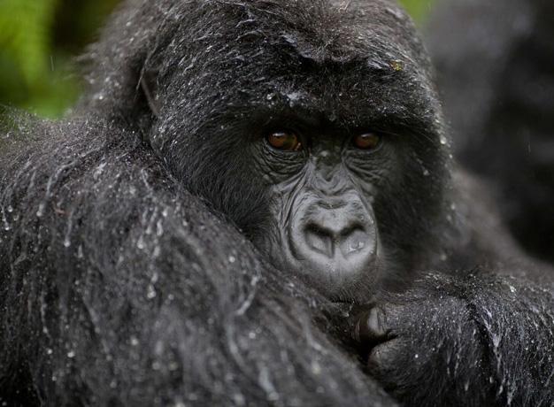 Gorilla trekking rwanda cost