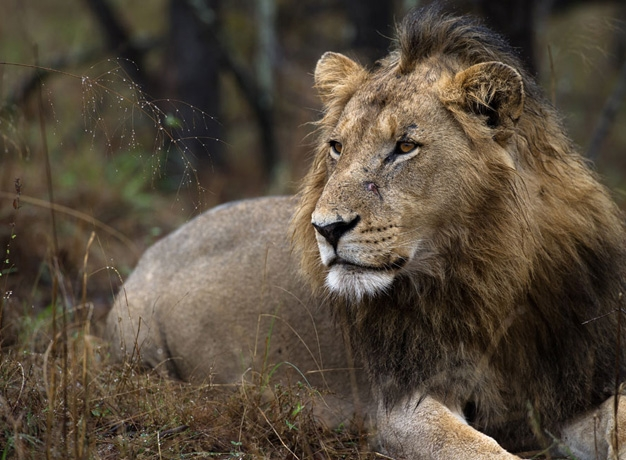 Beverly Joubert Lion Botswana