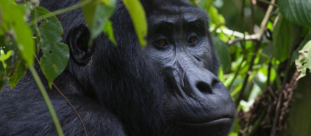 Gorilla Trekking Rwanda Ideal Time