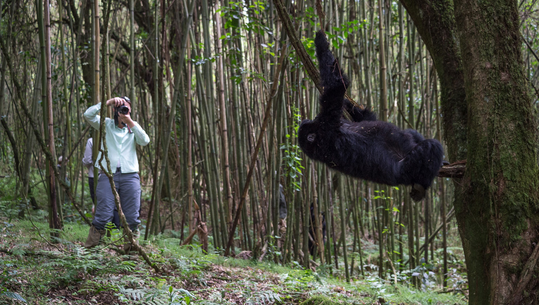 Visit the Mountain Gorillas in Rwanda or Uganda