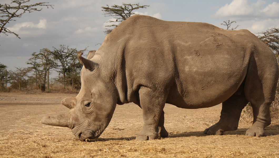 The first project of its kind - to save the Northern White Rhino