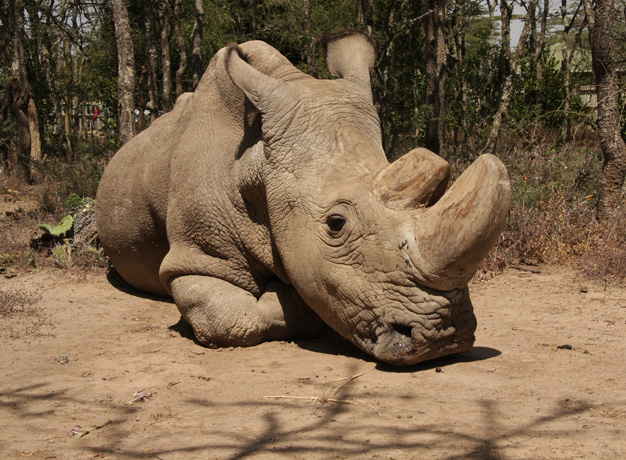 Sudan - The last remaining male northern white rhino in existence