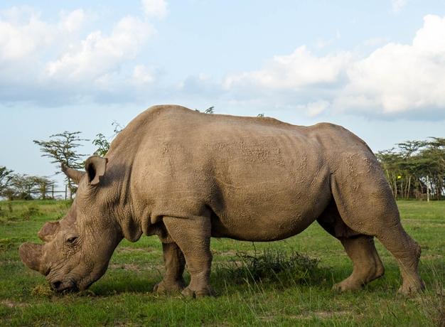 Northern White Rhino Extinction