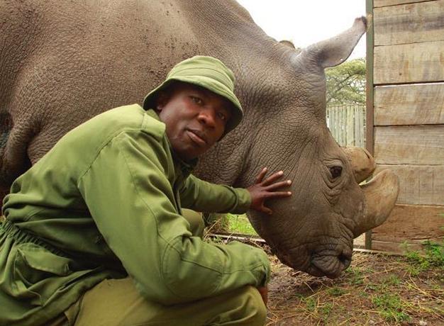 Kenya northern white rhino
