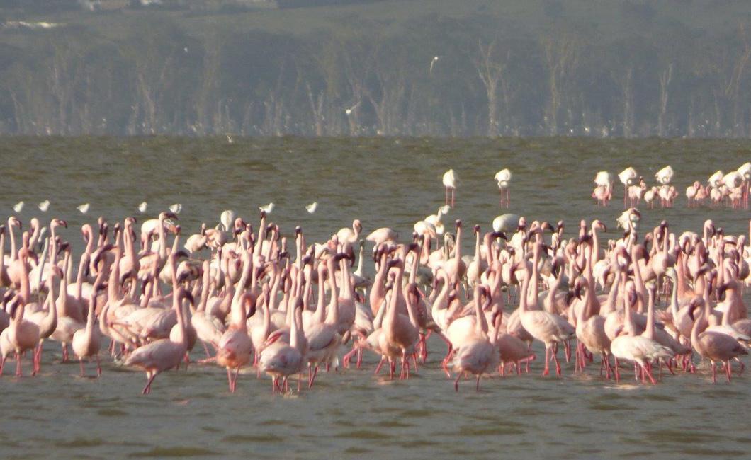Quite a few flamingos out on Lake Nakuru