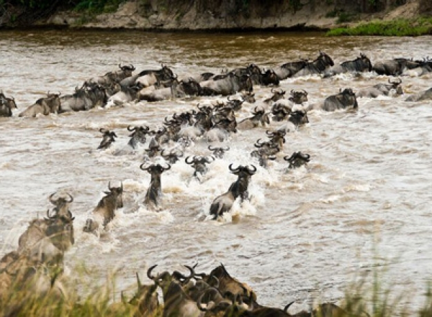 Safari Tour Wildebeest Migration