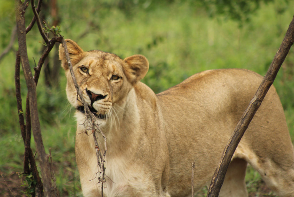 Being only meters away from a lioness whilst she patiently waited and called for a mate at the Sabi Sands Game Reserve.