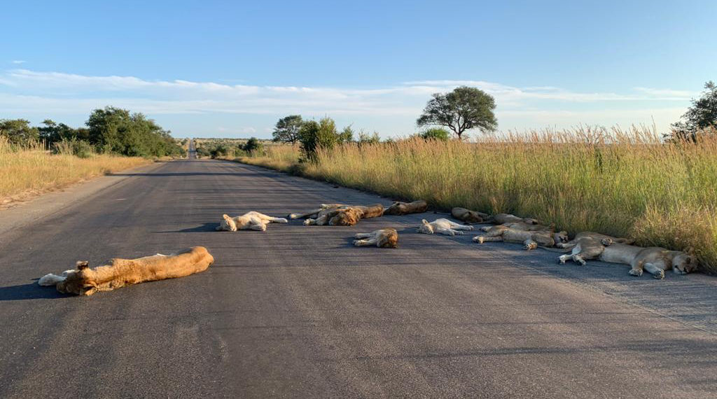 Lions nap on the roads in Kruger National Park in South Africa