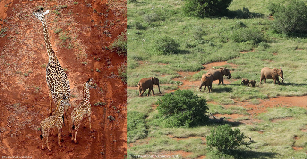 The miracle of life! Twins in the animal world are an exceptional event making these sightings of little giraffe and elephant lookalikes all the more extraordinary for our pilot that spotted them. Their births come at the most auspicious time; Tsavo has seen nearly a decade's worth of rain fall in one season, making the Park as favourable as it could ever be for these doppelgangers and their mothers. Their births are of particular cause for celebration too. Both elephants (the world's biggest land mammal) and giraffes (the world's tallest land mammal) are listed as vulnerable by the IUCN but, through your contributions which fund our Aerial Surveillance, we're seeking a brighter future for these record-breaking animals in Tsavo. Indeed, our daily aerial patrols are vital to deterring would-be poachers from the protected Park and, testament to our hard work, in the last aerial count of the Tsavo-Mkomazi ecosystem back in 2017, both giraffe and elephant populations were on the rise. More recently too, our pilots are reporting more spotting more wild babies than ever before, born to all manner of species!