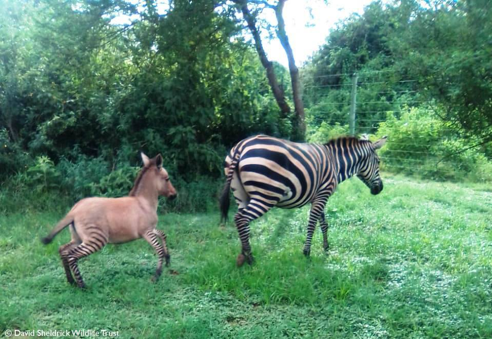 Zonkey born in Kenya during Coronavirus Lockdown