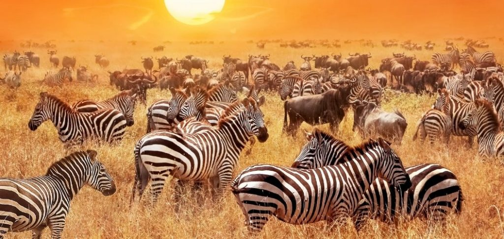 This spectacular fly/drive covid-safe safari allows you to explore Tanzania's best reserves and parks in style. Experience a journey of contrast from the rich game plains of the famous Serengeti National Park to the unique environment of the Ngorongoro Crater, a UNESCO World Heritage site, and the salt pans of Lake Manyara National Park.